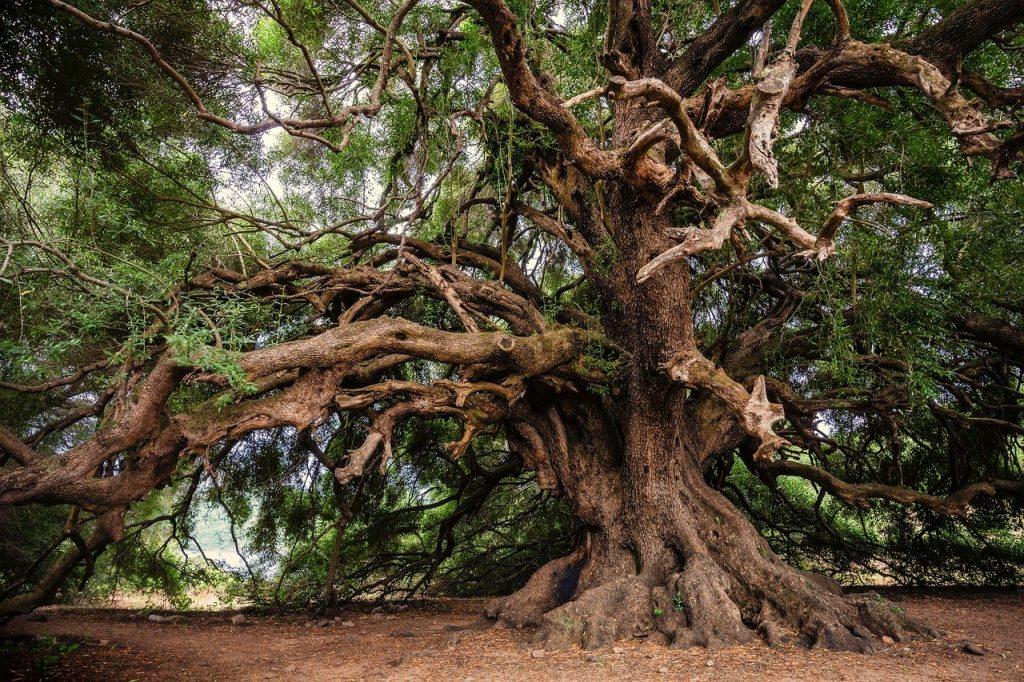 olive tree, tree, olivier-3579922.jpg